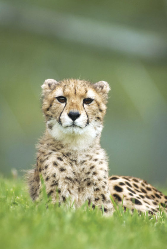 Photos provided by The Wilds Cheetahs are one of the parks features.
