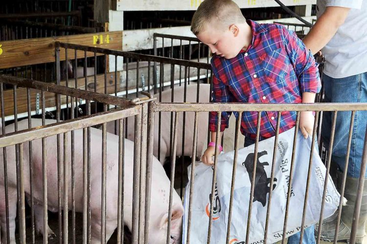 Photo by Erin E. O'Neill Easton Schaad, 9, feeds his Yorkshire breed pig Thursday as he prepares to show it today. The hog sale will be held Saturday. This is Schaad's first time showing a pig at the fair.