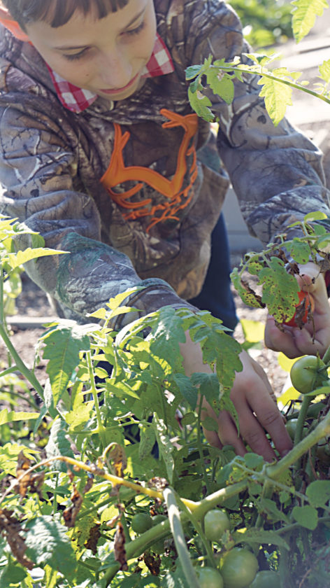 Photo by Michael Erb Edison Middle School sixth-grader Trenton Byrd picks tomatoes Friday in the school's community garden.