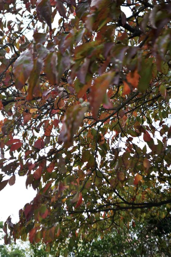 Subtle reds have shown up on some trees around Marietta, but the normal fall display of bright colors is unlikely this year because of hot, dry weather during late summer and early fall. (Photo by Michael Kelly)