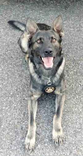 Photo Provided Ogi, a law enforcement dog of the Wood County Sheriff's Office, will receive body armor through Vested Interest in K9s Inc. and an anonymous sponsor. The dog was sworn in as a deputy sheriff in the department in May.