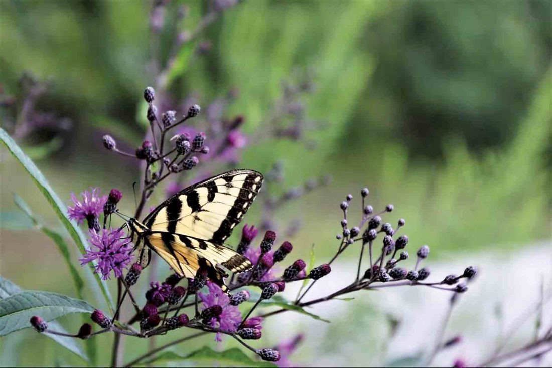 Photo Provided An Eastern Tiger Swallowtail butterfly atop an ironweed plant is the June cover photo of the 2018 Roadsides in Bloom calendar. Sharon Carper took the photo this summer in Roane County.