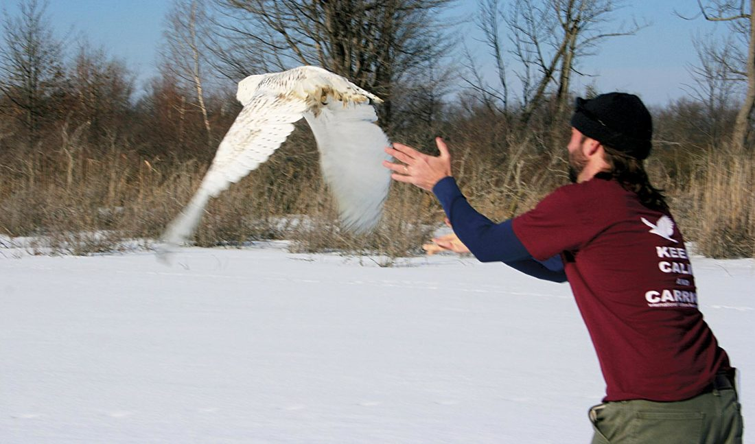 Photo provided by Joey Herron of Fairmont, W.Va. Dr. Jesse Fallon, director of veterinary medicine at the Avian Conservation Center of Appalachia in Morgantown, releases the snow owl on Saturday at Presque Isle State Park on the shore of Lake Erie near Erie, Pa. The owl was found injured in Vienna in late December, treated for a shoulder injury, strengthened back up and released back into the wild over the weekend.