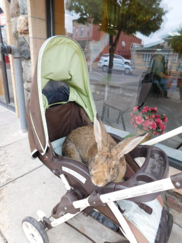 Staff photo by Clay Schuldt  Baby strollers on downtown Minnesota Street are not uncommon, but typically the children inside have shorter ears and less fur. This massive rabbit spotted outside the Backerei goes by the name Bigfoot and enjoys posing for a photo. The rabbit lifts its head at the mention of the word camera.