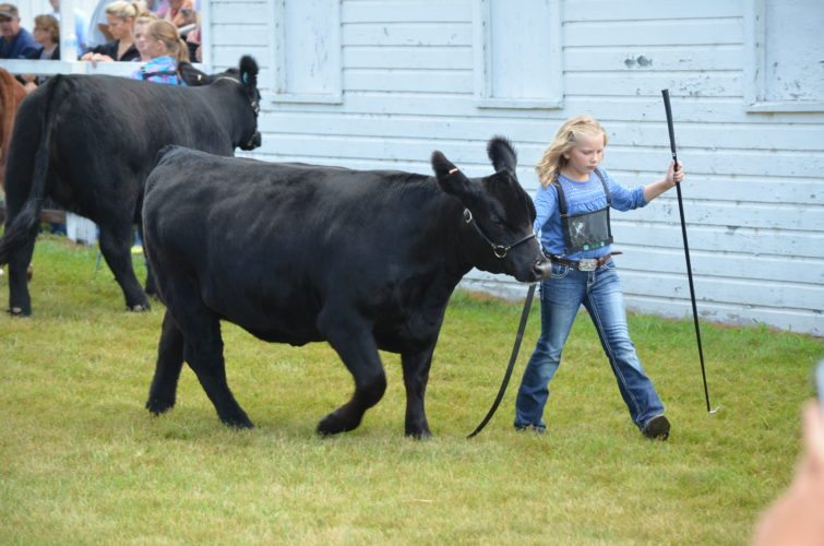 Staff photo by Connor Cummiskey  Aubree Schmidt, champion of the breeding heifer category in the 4-H Beef Show, leads her animal around the outside arena where they competed at the Brown County Free Fair Thursday.