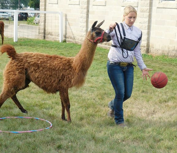 Staff photo by Clay Schuldt Mckenzie Cselovszki completes the most difficult part of the llama obstacle course. The last stretch requires the handler to either walk the llama while bouncing a basketball on grass or walk the llama while hulu-hooping. Cselovszki chose the basketball.