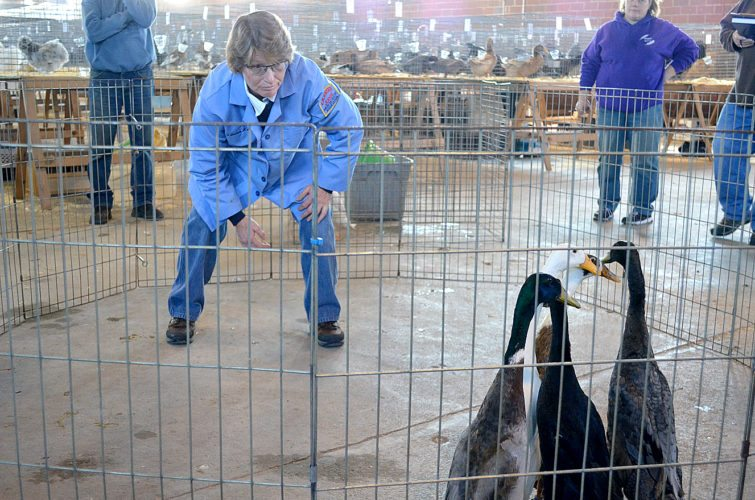Staff photo by Connor Cummiskey Poultry Judge Laura Kershaw judges a group of running ducks Saturday morning during the Fall Classic Poultry Show on the Brown County Fairgrounds hosted by the Brown County Pigeon and Poultry association. Running ducks are a breed of duck that stands upright and runs instead of waddles.