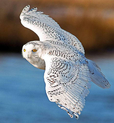 Audubon Society A snowy owl, like the one pictured above, was spotted in New Ulm in Dec. 16's Christmas Bird Count.
