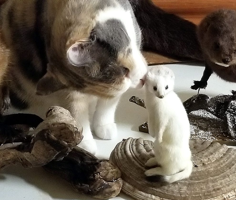 Macie, the Oak Hills Living Center therapy cat, gets a good look and sniff of Riverside History & Nature Center mounts.