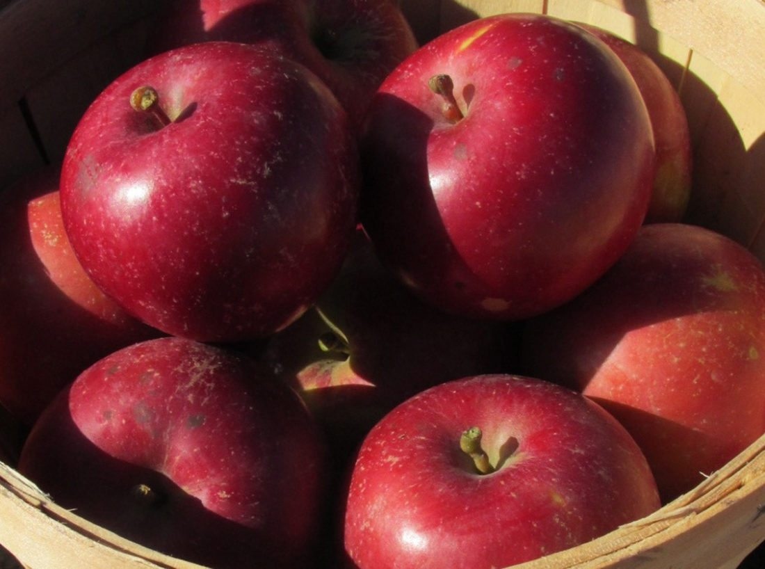 Submitted Photo A basket of apples grown by Alternative Roots Farm.