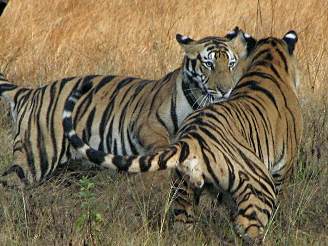 The Smithsonian Conservation Biology Institute in Front Royal has been involved in helping the Indian government save that nation's tiger population.   Courtesy photo by  Robert Fleischer