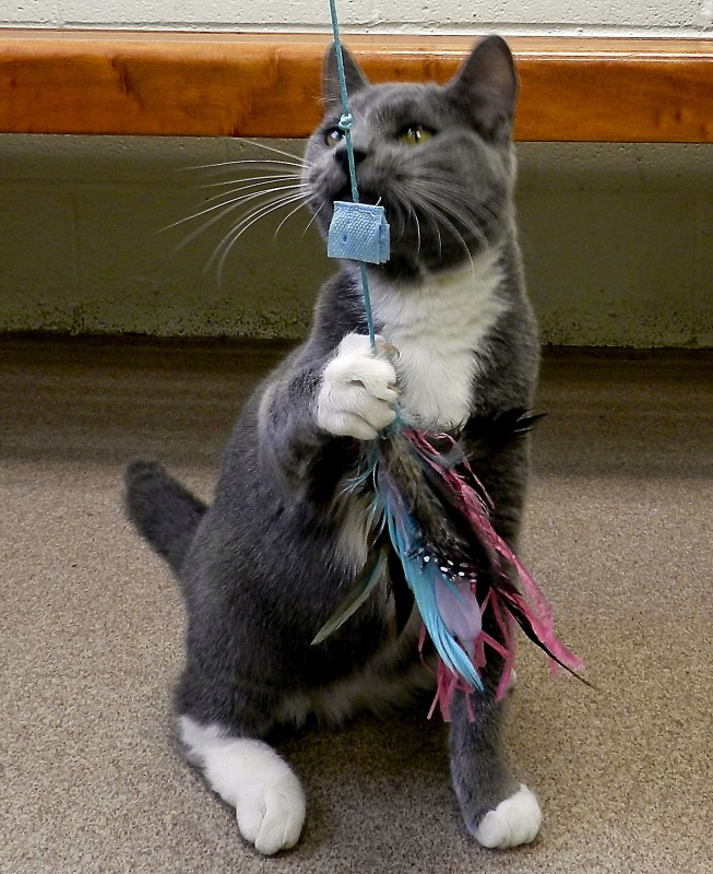 Smokey Joe takes control of a cat toy on a recent day at the Winchester SPCA. Kevin Green/Daily