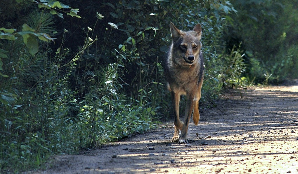 Warren County, one of the few counties in Virginia that has a program to pay residents for killing coyotes, a non-native species classified as a nuisance animal.   Courtesy photo