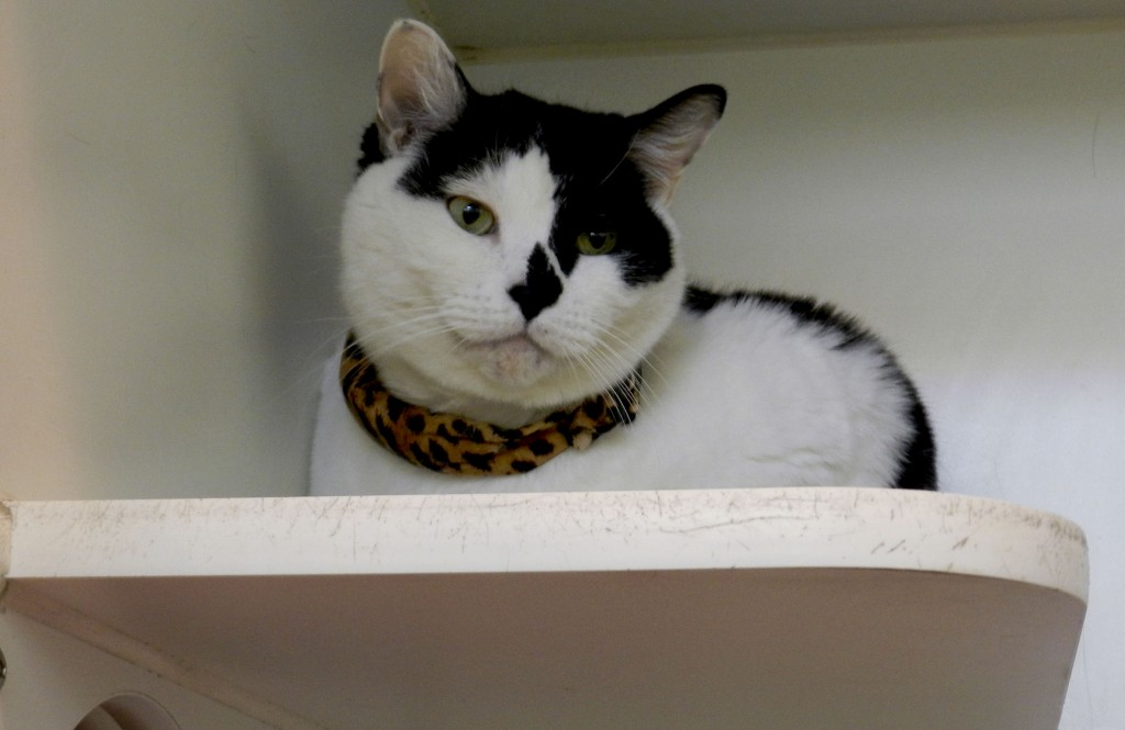 Squawlker Lee rests on a shelf at the Esther L. Boyd Animal Shelter in Frederick County. Photo by Henry Culvyhouse
