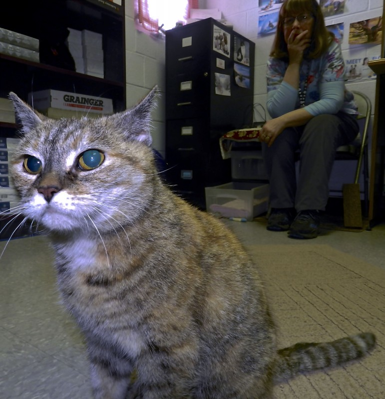Tilly is a special needs cat waiting for adoption at the Shenandoah County SPCA Animal Shelter. Tilly is blind.   Kevin Green/Daily
