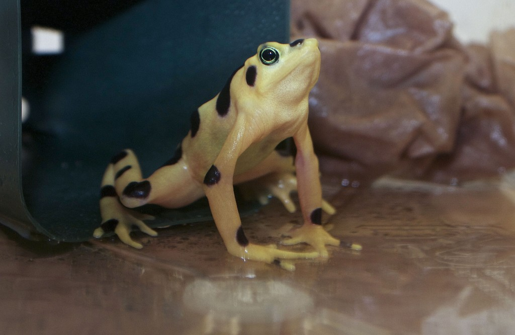 Researchers have discovered that rare golden frogs that have survived exposure to a deadly fungal disease have a skin microbe in common.  Photo courtesy of Brian Gratwicke/Smithsonian Conservation Biology Institute, Front Royal.