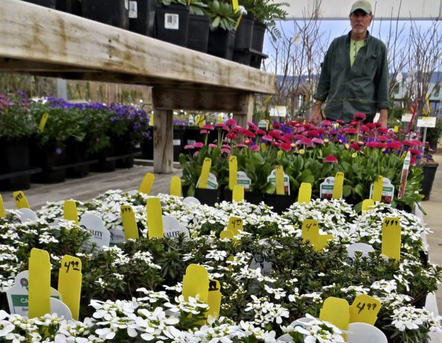"Flats of new spring flowers are displayed at Fort Valley Nursery in Woodstock. Owner Terry Fogle said the nursery carries a ""fairly large amount"" of plants localized for this area.   Courtesy photo"