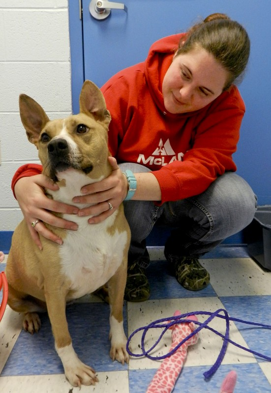 Brittany Fewell, kennel attendant at Clarke County Animal Shelter in Berryville, plays with Foxy, a pit bull mix up for adoption.  Josette Keelor/Daily