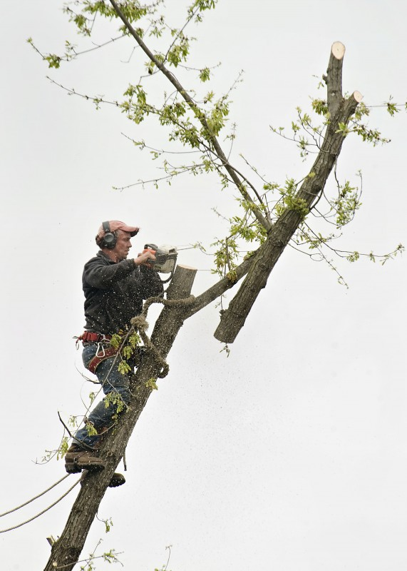 Roy Custer, of Edinburg, trims the top portion of a tree limb off Toll House Road in Maurertown on a recent spring afternoon. Rich Cooley/Daily
