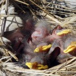 Newborn birds nest in the engine of a 15-passenger van at Antioch Church of the Brethren in Woodstock. The van will be used in a new interdenominational hospitality program that will help area homeless.  Josette Keelor/Daily