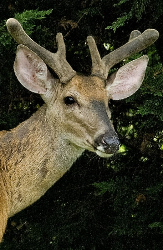Researchers say 25 percent of the have discovered the malaria parasite in the local white-tailed deer population.  Ellen Martinsen, a postdoctoral researcher with the institute, said the parasite has been found in up to 25 percent of the white-tailed deer population on the East Coast.