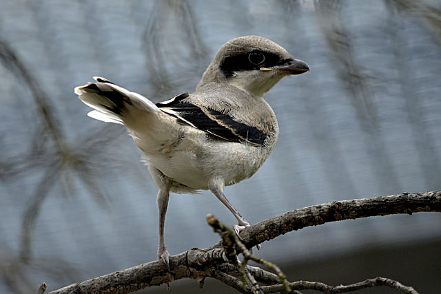 A recently hatched loggerhead shrike sits perched on a branch at the Smithsonian Conservation Biology Institute in Front Royal.  Courtesy photo