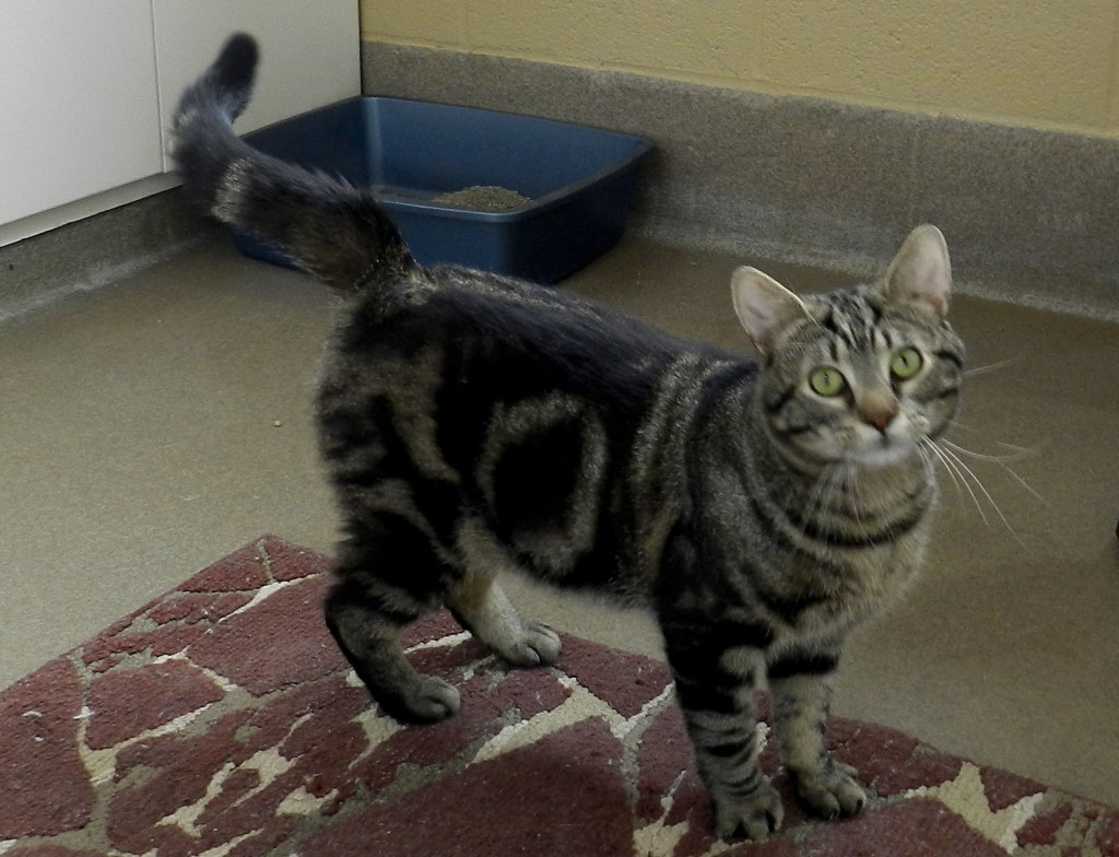 Munchkin is an active 1-year-old, short-haired  tabby who loves to play. Hilary Legge/Daily
