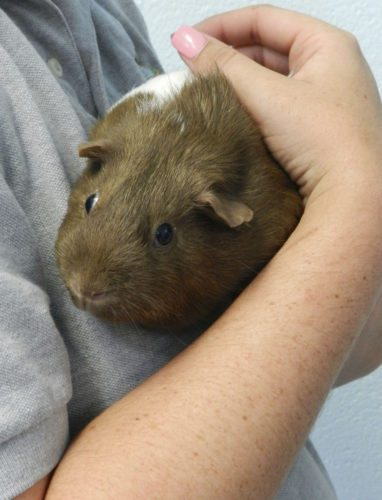 Waffle, a 3-year-old guinea pig,  is held by Clarke County Animal Shelter kennel attendant Brittany Fewell.  Josette Keelor/Daily