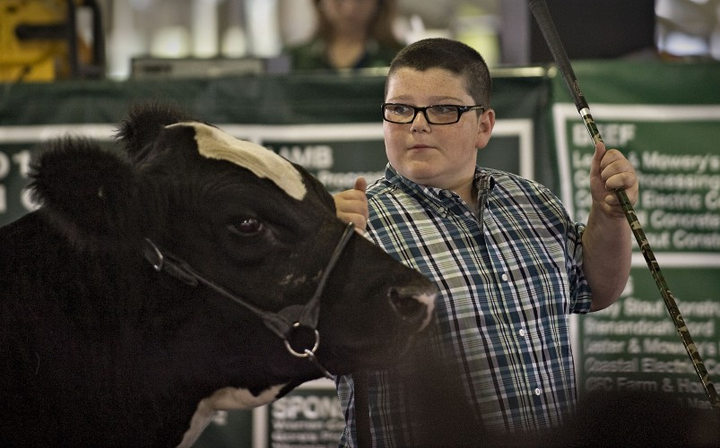 Ryan Atkins, 14, of Front Royal, leads his steer into the ring during the 4-H senior showmanship contest Thursday at the Warren County Fair.  Rich Cooley/Daily