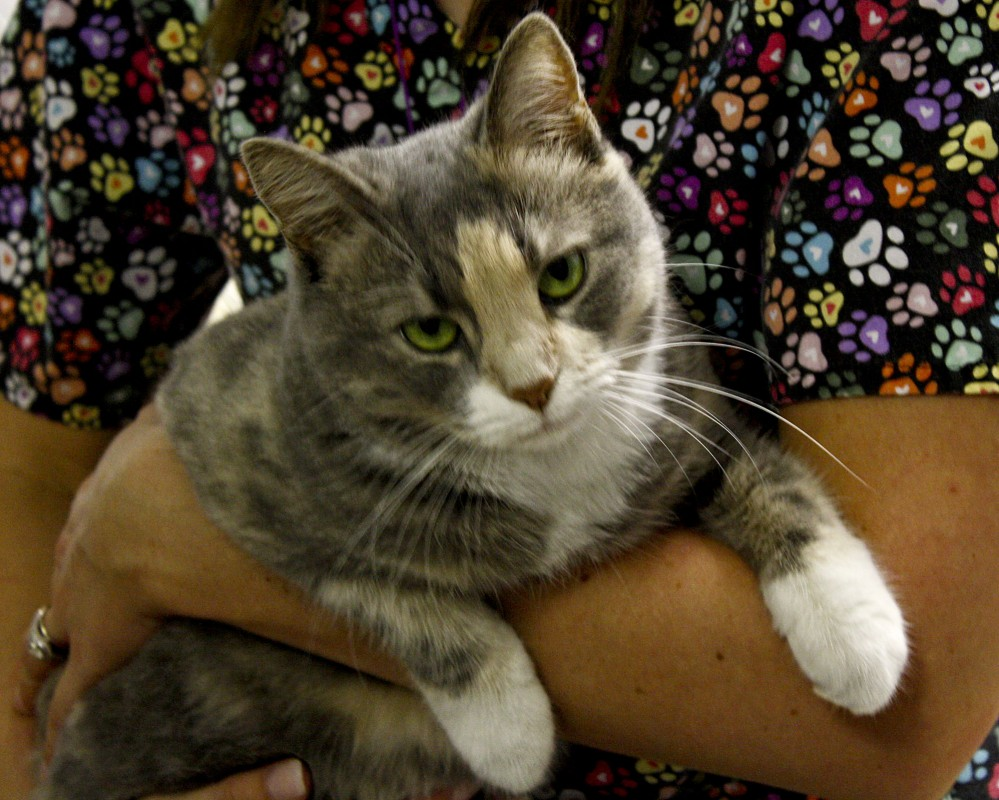 Pecan, a 1-year-old domestic short-haired cat, is seeking a new home after spending nearly three months at the Shenandoah County Animal Shelter in Edinburg.   Brad Fauber/Daily