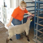 Lizzie Rhodes acts as youth representative by helping with the sheep weigh-in before the shows and sale at the 2014 Shenandoah County Fair. Photo courtesy of Carol Nansel
