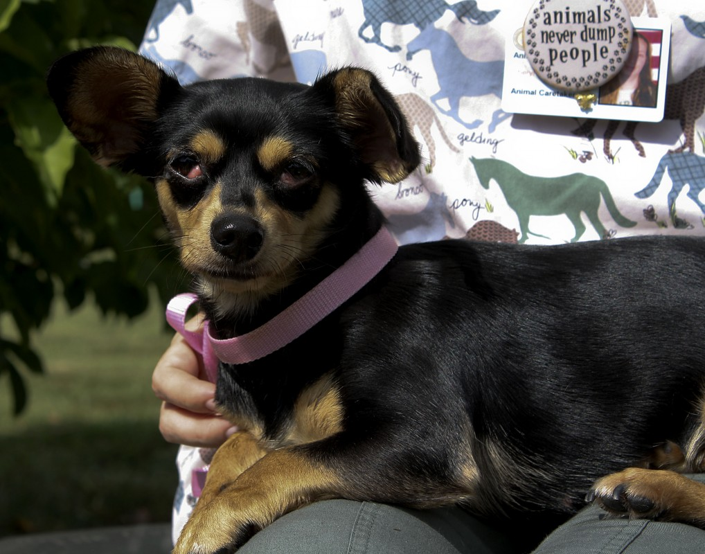 Royal Ann, a  Chihuahua/miniature pinscher mix, is available for adoption at the Shenandoah County Animal Shelter in Edinburg.  Brad Fauber/Daily