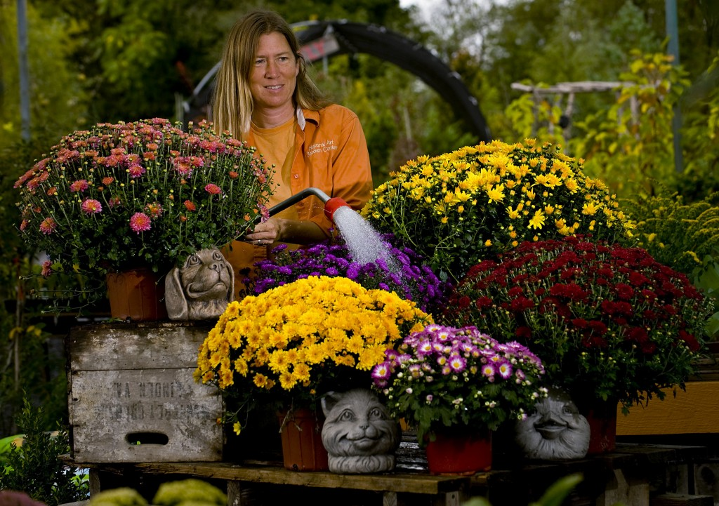 Lynne Phillips, manager at Natural Art Garden Center, waters this group of colorful autumn mums at the Toms Brook nursery. Mums and pansies are among the most popular plants purchased in the fall, which begins today. Rich Cooley/Daily