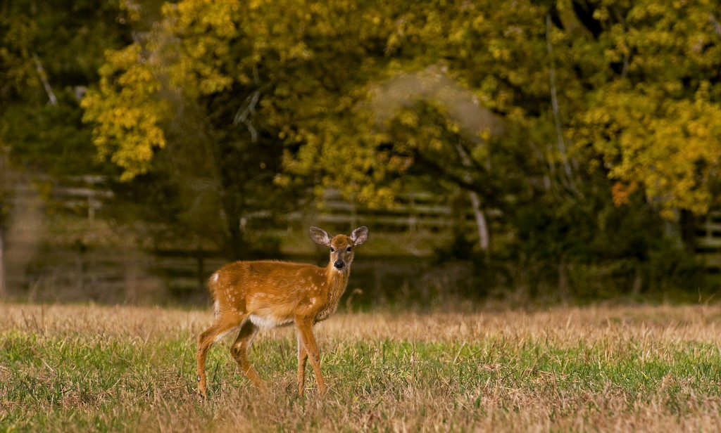 A deer walks through a field in front of a backdrop of autumn colors off East Reservoir Road in Woodstock.  Rich Cooley/Daily