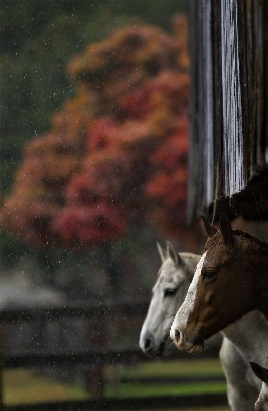 Horses huddle under a barn roof off Sandy Hook Road near Strasburg in the morning rain on Wednesday.  Thursday's forecast calls for a chance of rain between 11 a.m. to 2 p.m. and then it will be mostly sunny. The high today will be 67.  Rich Cooley/Daily