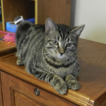 Peanut, a 7-month-old brown tabby, is looking for a forever home with his brother, Batman. Gerry Langland, of Woodstock, found the kittens as feral barn cats when they were 3 weeks old and has been fostering them since June. Kaley Toy/Daily