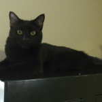 Batman, a 7-month-old kitten in Woodstock, is looking for a forever home with his brother, Peanut.  Kaley Toy/Daily