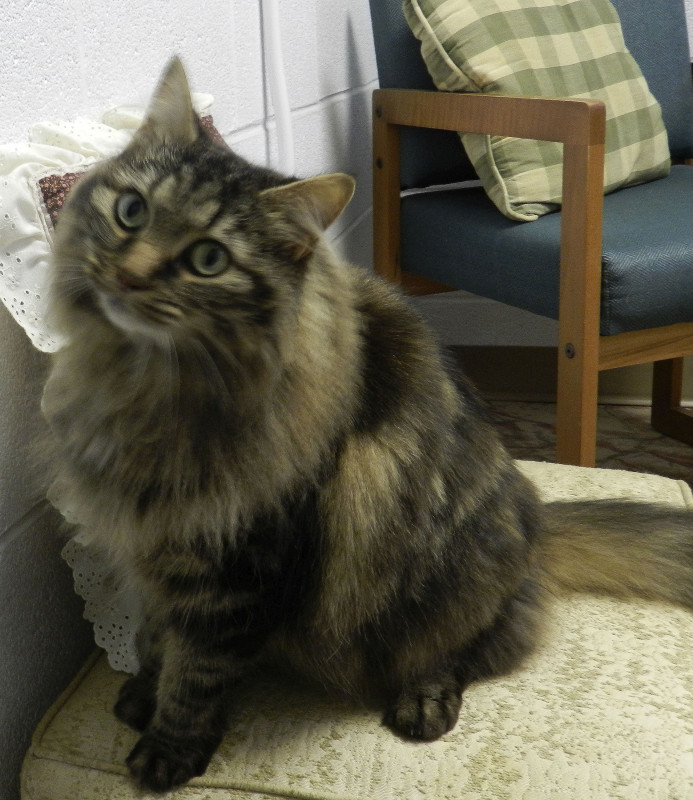 Lucy, a 5-year-old domestic long haired cat, is queen of the house at the Shenandoah County Animal Shelter in Edinburg.  Kaley Toy/Daily