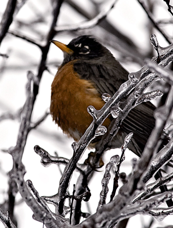 A robin perches on an icy branch on Tuesday. Rich Cooley/Daily