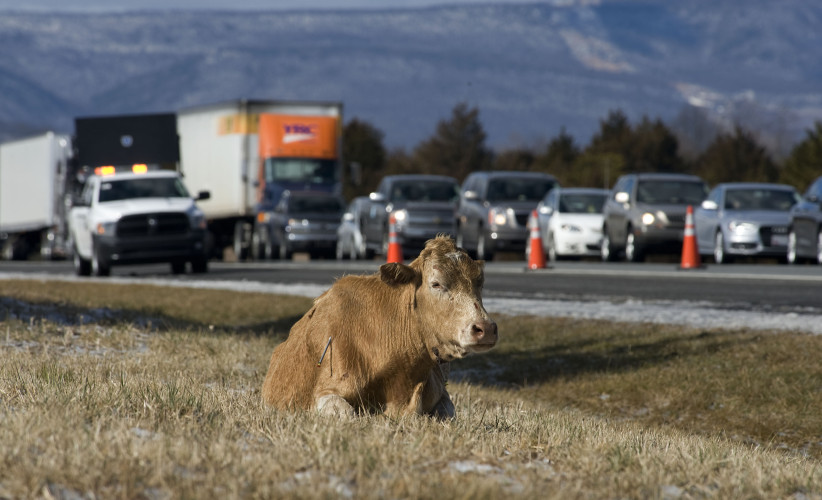 A 1,300-pound cow sits along the shoulder of Interstate 66 eastbound near the Interstate 81 interchange Monday afternoon. Officials used a dart  tranquilizer to calm the animal and closed one lane until the animal was loaded from the scene. The incident took about 90 minutes.  Rich Cooley/Daily