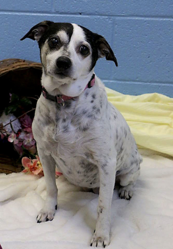 Allie is a 13-year-old Jack Russell mix. Courtesy photo