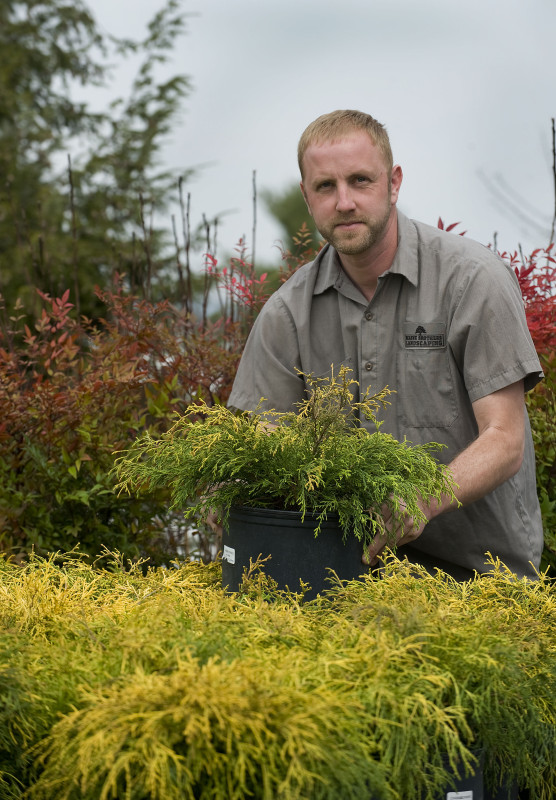 Eric  Beaune, owner of Beaune Brothers Landscaping LLC in Woodstock, arranges a group of gold mop cypress shrubs that were recently shipped for the spring season.  Rich Cooley/Daily