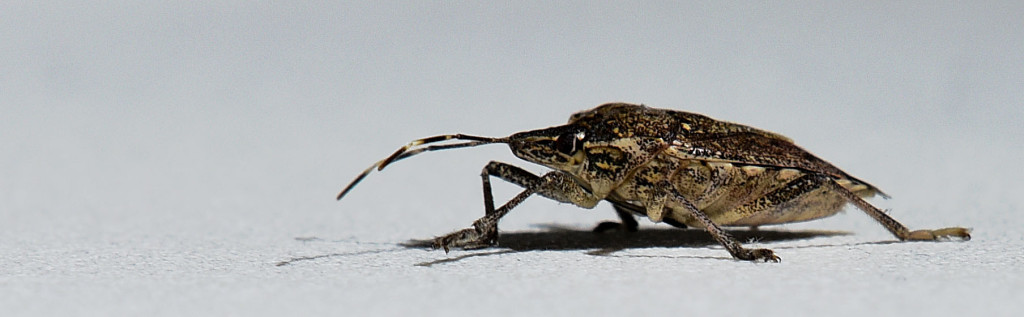 The brown marmorated stink bug is a pest in farmers' fields and orchards as well as in the home.   Rich Cooley/Daily