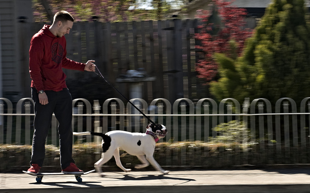 Cody Lohmann, 25, of Front Royal, has his pit bull Mileena take him for a ride on his skateboard down Blue Ridge Avenue near his home. Rich Cooley/Daily