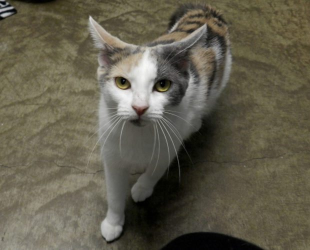 Bubbles, a 1-year-old calico cat at the Shenandoah County Animal Shelter is looking for a home. Kaley Toy/Daily