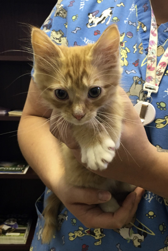 Mr. Meowgi, an 8-week-old domestic medium hair cat, is available for adoption at the Shenandoah County Animal Shelter in Edinburg.   Brad Fauber/Daily
