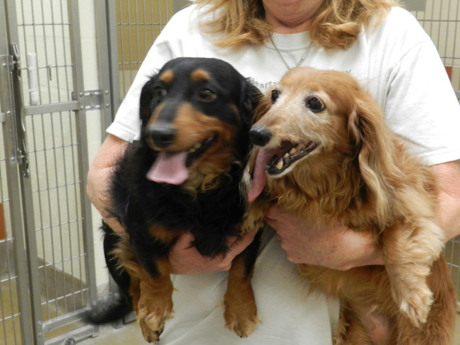 A bonded pair of long-haired dachshunds, Sam, left, and Harmony  are looking to find the right home together. Kaley Toy/Daily
