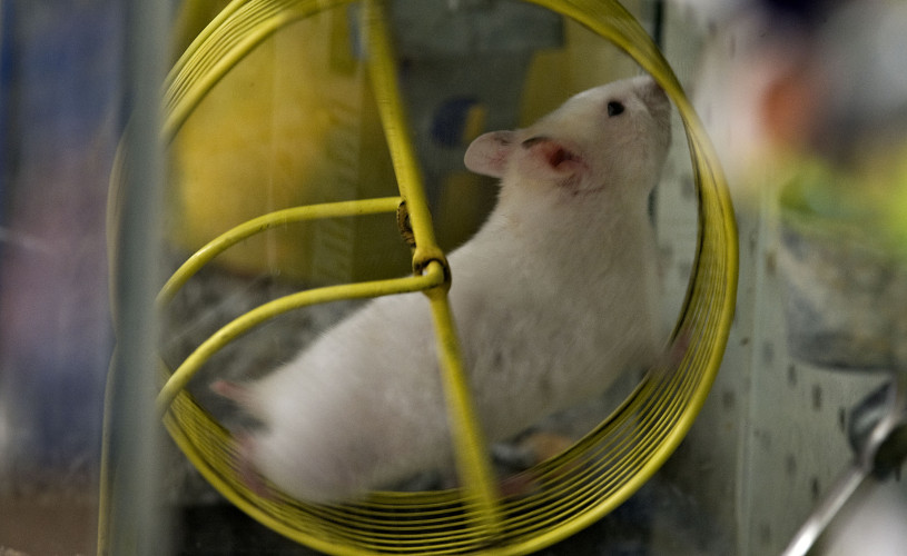 A hamster runs inside its wheel at Noah's Ark Pet Store in Front Royal. Rich Cooley/Daily