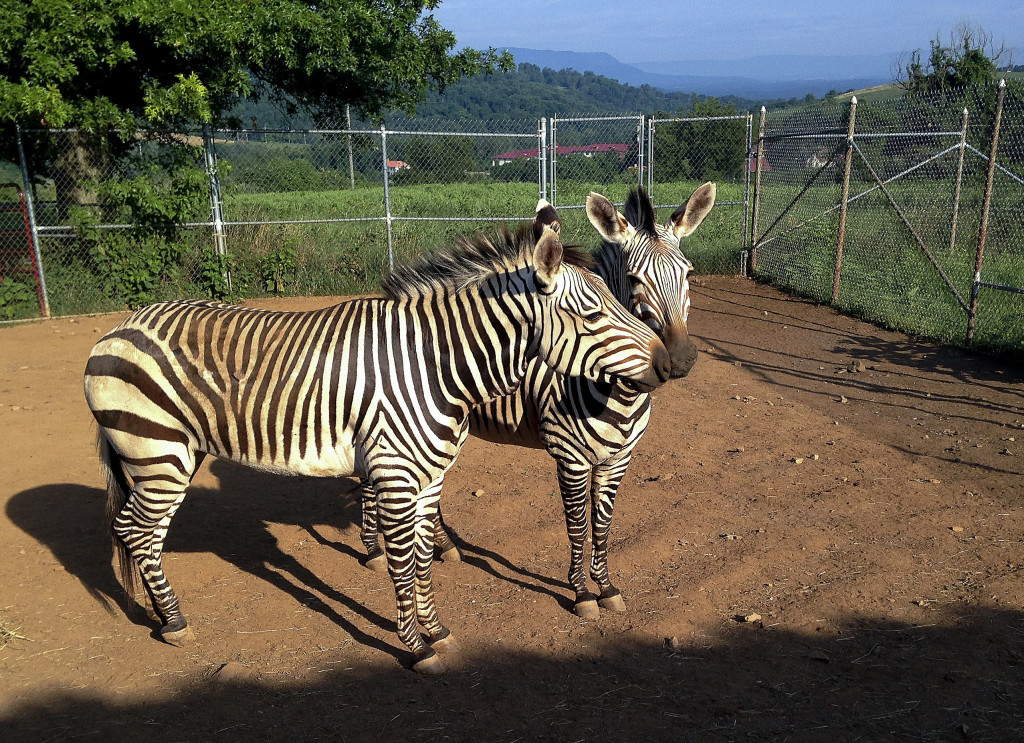 Hartmann's mountain zebras are pictured at the Smithsonian Conservation Research Center in Front Royal. Biologists will be using three zebras to examine reproductive traits as well as experiment with terrain to find an ideal surface for the animals.  Courtesy photo