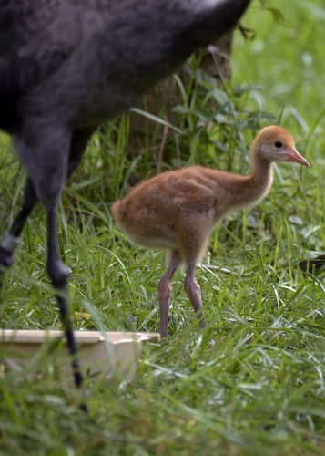A hooded crane chick recently hatched at The Smithsonian Conservation Biology Institute in Front Royal. The crane's sex will be determined in the near future and is one of only 26 hooded cranes in captivity.  Courtesy photo